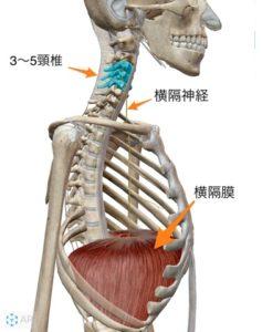 呼吸に関わる横隔膜と横隔神経