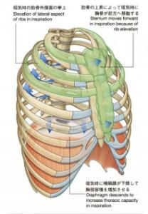 呼吸時の横隔膜