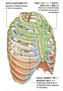 肋骨の動き